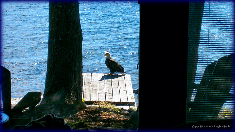 Eagle on dock